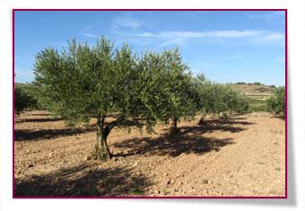 PabloD Gourmet - Olivos que producen para Trujal Almazara
